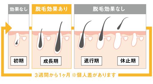 毛周期のイラスト